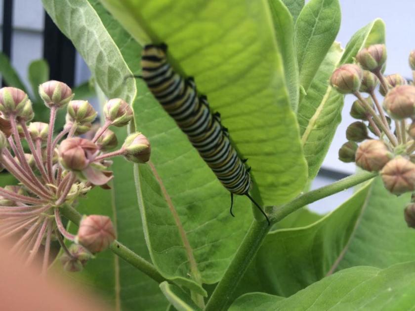 monarchcatterpillarinMPRA